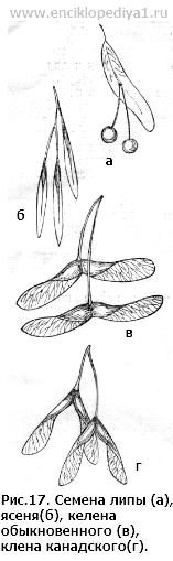семена клена и ясеня фото